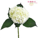 130x130 sq 1413918855926 large white hydrangea