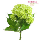 130x130 sq 1413918860689 mini green hydrangeas