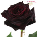 130x130 sq 1414513633175 rose black baccarra