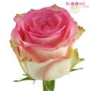 130x130 sq 1414513640753 rose esperance