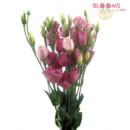 130x130 sq 1414514385957 lisianthus pink