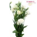 130x130 sq 1414514390311 lisianthus white