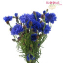 130x130 sq 1414514454147 blue cornflower