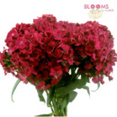 130x130 sq 1414514467007 red gypsy dianthus
