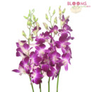 130x130 sq 1414514504310 bombay dendrobium orchids