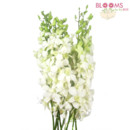 130x130 sq 1414514511105 white dendrobium orchids