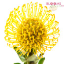 130x130 sq 1414514851939 yellow protea