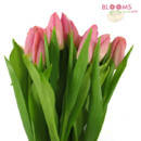 130x130 sq 1414514924925 pink tulips