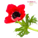130x130 sq 1414514981152 red anemone