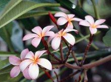 220x220 1256832419798 frangipaniflowers