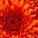 130x130 sq 1359559587255 chrysanthemum