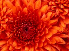 220x220 1359559587255 chrysanthemum