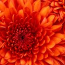 130x130 sq 1298243494755 chrysanthemum