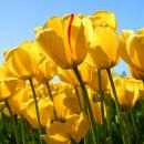 130x130 sq 1414761872172 tulips