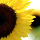 130x130_sq_1387564707654-close-up-sunflower-wallpape
