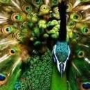 130x130 sq 1406915442 6ca964b5dbd192a6 peacock