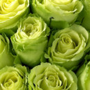 130x130 sq 1390082027155 chartreuse roses