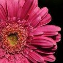130x130_sq_1246980521498-pinkgerber