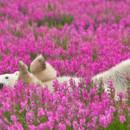 130x130 sq 1471913108340 polar bear playing flower field dennis fast 22