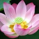 130x130 sq 1473340608617 lotus