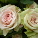 130x130_sq_1207434281973-green_sahara_roses